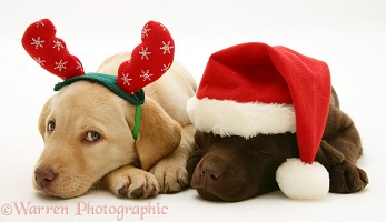 Yellow and Chocolate Retriever pups at Xmas