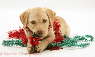 Yellow Labrador Retriever pup with tinsel