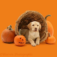 Yellow Labrador Retriever pup at Halloween