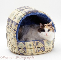 Calico cat in an igloo bed