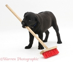Black Labrador pup playing with a child's broom