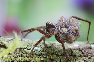 Meadow Spider carrying baby spiders