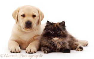 Yellow Labrador Retriever pup with tortoiseshell kitten