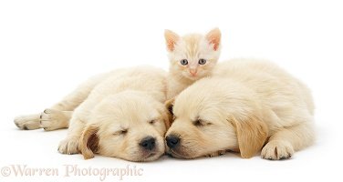 Two sleepy Golden Retriever pups with cream kitten