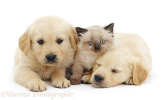Two sleepy Golden Retriever pups with Birman kitten