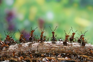 Wood Ant workers
