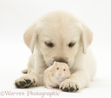 Retriever-cross pup with a hamster