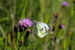 Large white on sawwort