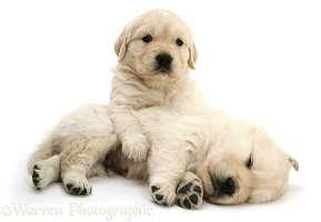 Two sleepy Golden Retriever pups
