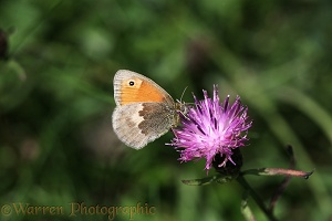 Small heath on knapweed