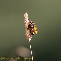 Bee-killer Wasp with honey bee prey