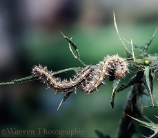 Painted Lady caterpillars on Spear Thistle