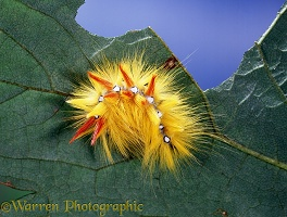 Sycamore moth caterpillar