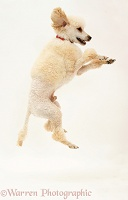 Apricot Poodle leaping