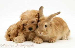 American Cockapoo puppy with Lionhead rabbit