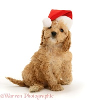 American Cockapoo puppy, 8 weeks old, in Santa hat