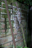 Two rats on a ladder