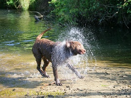 Chesapeake Bay Retriever shaking