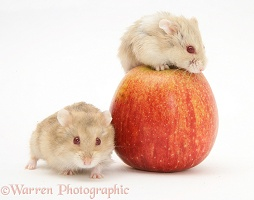 Two Dwarf Siberian Hamsters with an apple