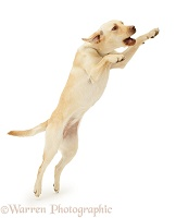 Yellow Labrador Retriever leaping