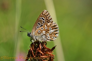 Brown argus underside