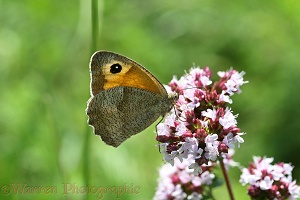 Meadow brown on marjoram