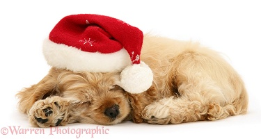 Sleepy American Cocker Spaniel pup with Santa hat on