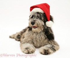 Cadoodle bitch (Collie x Poodle) wearing a Santa hat
