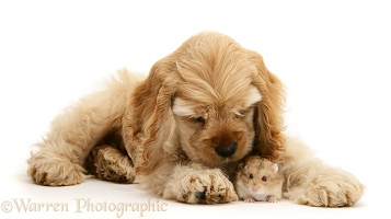 Buff American Cocker Spaniel pup with hamster
