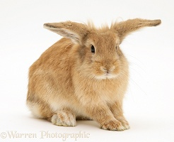 Sandy Lionhead-cross rabbit