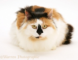 Tortoiseshell and white female cat