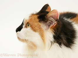 Calico female cat