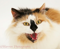 Calico female cat snarling
