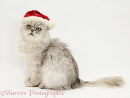 Chinchilla Persian cat wearing a Santa hat