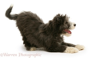 Playful Bearded Collie pup