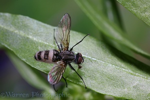 Fly killed by insect pathogenic fungus