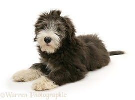 Bearded Collie pup