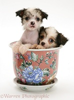 Chinese Crested pups in a Chinese pot