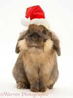 Lionhead rabbit with Santa hat on