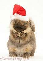 Lionhead rabbit with Santa hat on, washing itself