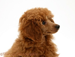 Red Toy Poodle pup