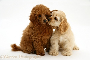 American Cocker Spaniel pup and Toy Poodle pup