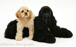 Black American Cocker Spaniel with buff pup