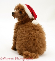Red Toy Poodle pup wearing a Santa hat