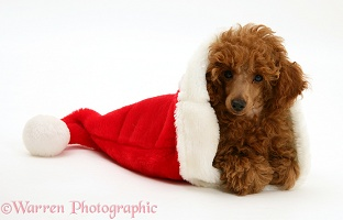 Red Toy Poodle pup in a Santa hat