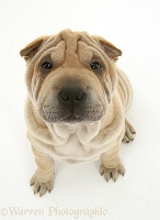 Shar-pei pup looking up