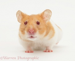 Short-haired Syrian Hamster