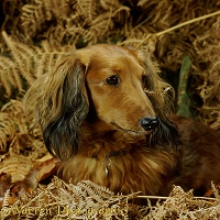 Miniature Long-haired Dachshund among bracken
