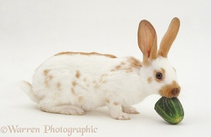 Rabbit eating cucumber