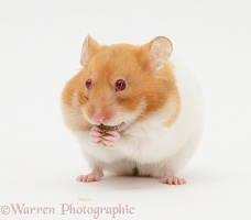 Short-haired Syrian Hamster stuffing its pouches